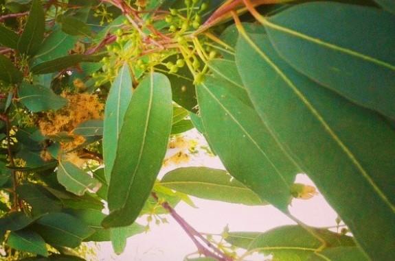 eucalipto